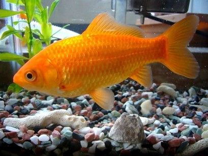 common_goldfish_1